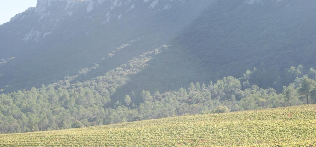 Parcelle Grenache Planas - Domaine de l'Hortus - Pic Saint Loup
