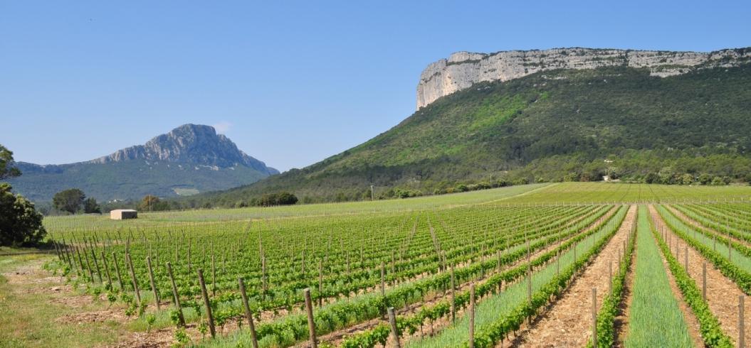 Parcelle Muscat Le Mazet - Domaine de l'Hortus - Pic Saint Loup